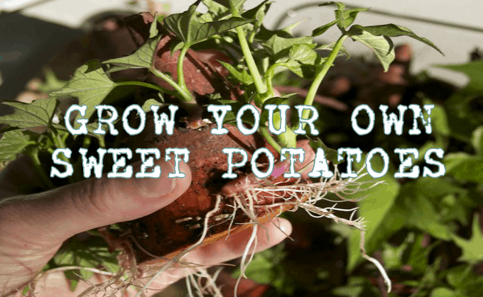 w Your Own Sweet Potatoes